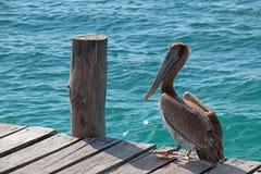 Πελεκάνος στην αποβάθρα βαρκών στο νησί της Isla Mujeres ακριβώς από την ακτή Cancun του Μεξικού Στοκ φωτογραφίες με δικαίωμα ελεύθερης χρήσης
