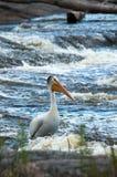 Πελεκάνος στον ποταμό Στοκ Φωτογραφίες