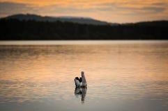 πελεκάνος Στοκ εικόνα με δικαίωμα ελεύθερης χρήσης