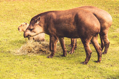 Πεδινά tapirs Στοκ εικόνα με δικαίωμα ελεύθερης χρήσης