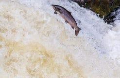 Πηδώντας άγριος ατλαντικός σολομός Στοκ φωτογραφία με δικαίωμα ελεύθερης χρήσης