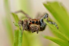 Πηδώντας αράχνη Στοκ Εικόνα