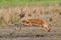 πηδώντας κριός impala Στοκ Εικόνες
