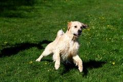 Πηδώντας σκυλί στοκ φωτογραφία με δικαίωμα ελεύθερης χρήσης