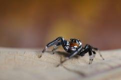 Πηδώντας αράχνη Στοκ Φωτογραφίες