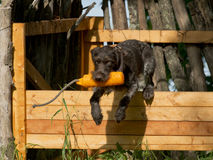 Πηδώντας σκυλί Στοκ Φωτογραφία