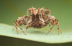 Πηδώντας την αράχνη - εικόνες της Portia SP Στοκ Φωτογραφίες