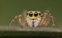 Πηδώντας την αράχνη - Salticidae Στοκ Φωτογραφίες