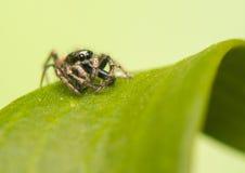 Πηδώντας την αράχνη - scenicus Salticus Στοκ φωτογραφία με δικαίωμα ελεύθερης χρήσης