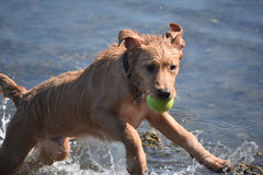 Πηδώντας υγρό σκυλί κουταβιών Toller στο νερό με μια σφαίρα αντισφαίρισης Στοκ Εικόνες