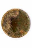 πιάτο petri βακτηριδίων Στοκ Φωτογραφία