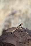 πιαμένη σαύρα insularis ερήμων crotaphytus Στοκ Εικόνα