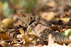 Πιαμένη iguanid σαύρα, Μαδαγασκάρη Στοκ Εικόνες