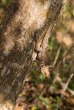Πιαμένη iguanid σαύρα, Μαδαγασκάρη Στοκ εικόνα με δικαίωμα ελεύθερης χρήσης