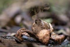 Πιαμένος earthstar (Geastrum τρηπλό) απελευθερώνοντας τα σπόρια όταν χτυπιέται από τη βροχή Στοκ Εικόνες