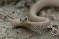 Πιαμένο νάνο φίδι (collaris Eirenis) Στοκ Εικόνες