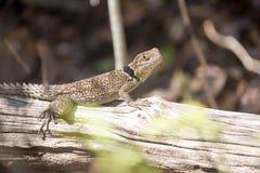 Πιαμένο το Madagascan iguana, Oplurus Cuvier, είναι άφθονο στην επιφύλαξη Tsingy Ankarana, Μαδαγασκάρη Στοκ εικόνες με δικαίωμα ελεύθερης χρήσης