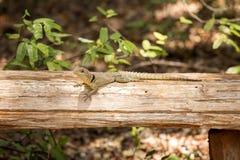 Πιαμένο το Madagascan iguana, Oplurus Cuvier, είναι άφθονο στην επιφύλαξη Tsingy Ankarana, Μαδαγασκάρη Στοκ Εικόνα