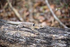 Πιαμένο το Madagascan iguana, Oplurus Cuvier, είναι άφθονο στην επιφύλαξη Tsingy Ankarana, Μαδαγασκάρη Στοκ φωτογραφία με δικαίωμα ελεύθερης χρήσης