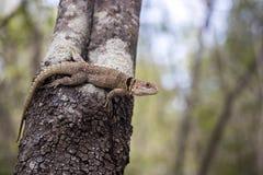Πιαμένο το Madagascan iguana, Oplurus Cuvier, είναι άφθονο στην επιφύλαξη Tsingy Ankarana, Μαδαγασκάρη Στοκ Φωτογραφία