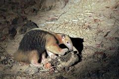 Πιαμένο Anteater που ψάχνει τα τρόφιμα Στοκ Φωτογραφίες