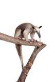 Πιαμένο Anteater, tetradactyla Tamandua στο λευκό Στοκ φωτογραφίες με δικαίωμα ελεύθερης χρήσης
