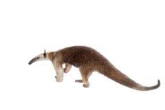 Πιαμένο Anteater, tetradactyla Tamandua στο λευκό Στοκ Φωτογραφίες