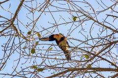 Πιαμένο Aracari σε ένα δέντρο Στοκ εικόνα με δικαίωμα ελεύθερης χρήσης