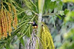 Πιαμένο Aracari στις άγρια περιοχές Στοκ εικόνα με δικαίωμα ελεύθερης χρήσης