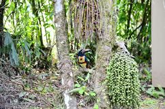 Πιαμένο Aracari στις άγρια περιοχές Στοκ Φωτογραφίες