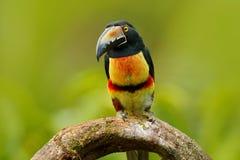Πιαμένο Aracari, torquatus Pteroglossus, πουλί με το μεγάλο λογαριασμό Συνεδρίαση Toucan στον κλάδο στο δάσος, Boca Tapada, Lagun Στοκ Εικόνες