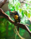 Πιαμένο torquatus Aracari Agarrado Pteroglossus toucan Στοκ φωτογραφία με δικαίωμα ελεύθερης χρήσης