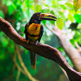 Πιαμένο torquatus Aracari Agarrado Pteroglossus toucan Στοκ Φωτογραφίες