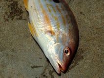 πιασμένα ψάρια πρόσφατα Στοκ Εικόνα
