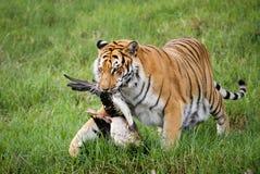 πιασμένη τίγρη χήνων Στοκ Εικόνα