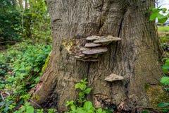 Πιατάκι-διαμορφωμένος μύκητας στο φλοιό ενός μεγάλου δέντρου Στοκ φωτογραφία με δικαίωμα ελεύθερης χρήσης