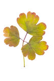 Πιεσμένα και ξηρά φύλλα του aquilegia vulgaris που απομονώνει στο λευκό Στοκ εικόνες με δικαίωμα ελεύθερης χρήσης