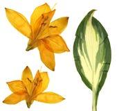 Πιεσμένα πορτοκαλιά λουλούδια της Lilly, που απομονώνονται στο άσπρο υπόβαθρο ξηρό λ Στοκ εικόνες με δικαίωμα ελεύθερης χρήσης