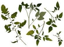 Πιεσμένα φύλλα της ντομάτας Στοκ Φωτογραφίες