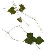 Πιεσμένα φύλλα του αγγουριού Στοκ εικόνα με δικαίωμα ελεύθερης χρήσης