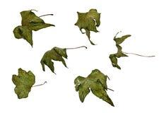 Πιεσμένα φύλλα του αγγουριού Στοκ φωτογραφία με δικαίωμα ελεύθερης χρήσης