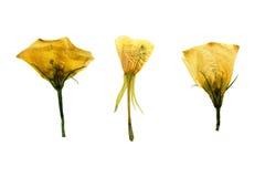 Πιεσμένο και ξηρό λεπτό διαφανές λουλούδι τρία bindweed Στοκ Εικόνα