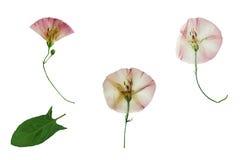 Πιεσμένο και ξηρό λεπτό λουλούδι τρία bindweed Στοκ εικόνα με δικαίωμα ελεύθερης χρήσης