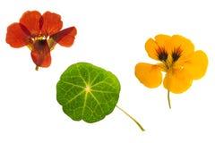Πιεσμένο και ξηρό καφετί, πορτοκαλί nasturtium λουλουδιών απομονωμένος Στοκ Εικόνες
