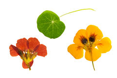 Πιεσμένο και ξηρό καφετί, πορτοκαλί nasturtium λουλουδιών απομονωμένος Στοκ εικόνες με δικαίωμα ελεύθερης χρήσης