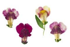 Πιεσμένο και ξηρό λουλούδι snapdragons ή antirrhinum, που απομονώνεται Στοκ φωτογραφίες με δικαίωμα ελεύθερης χρήσης