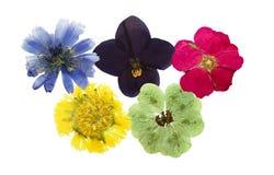Πιεσμένο και ξηρό λουλούδι που απομονώνεται Αυτοί ολυμπιακά δαχτυλίδια mimice Στοκ εικόνες με δικαίωμα ελεύθερης χρήσης