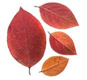 Πιεσμένο και ξηρό φύλλο Chokeberry Στοκ Εικόνα