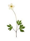 Πιεσμένο και ξηρό anemone λουλουδιών, που απομονώνεται Στοκ Εικόνα