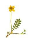 Πιεσμένο και ξηρό anserine potentilla λουλουδιών, που απομονώνεται Στοκ Εικόνες